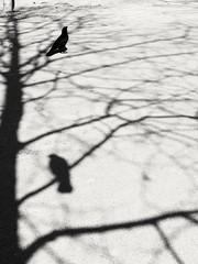 Le réel et le vrai. (Anciuti) Tags: shadows crow leica leicadlux monochrome blackandwhite illusion truth