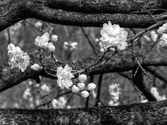 Black and White Spring (clarkcg photography) Tags: blackandwhite blackwhite bw flowers blossoms blooms spring tree bark texture thursdayblackandwhite blackandwhitethursday 7dwf