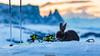 Ski Bunny (Nicola Pezzoli) Tags: dolomiti dolomites unesco val gardena winter snow alto adige italy bolzano mountain nature december ski bunny rabbit sunset monte seura sciliar pana zoon bokeh