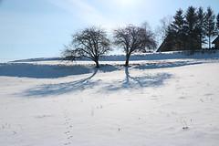 Glinik Two trees and their shadows IMG_0184 b (david.neville2776) Tags: trees shadows snow