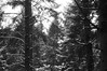 Snow-laden Pines (Maximus Viridius) Tags: snow snowscape forest pentax k3 okehampton devon woods trees pine monochrome