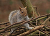 Squirrel (micky_shaw) Tags: squirrel wildlife photography british canon canoneos40d canonphotography digital 300mm cute