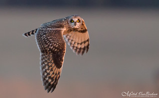 You Lookin' At Me Lookin' At You (Short-Eared Owl)