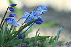 "signs of spring (s@ssyl@ssy) Tags: spring blooms tiny flowers blue peekingoutofthedirt 2""tall teeny garden outsidemywindowatwork shelteredinasunnycorner bluesquill scilla siberiansquill siberica"