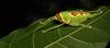 Giant False Leaf Katydid Nymph (Pseudophyllus titan, Pseudophyllinae, Tettigoniidae) (John Horstman (itchydogimages, SINOBUG)) Tags: insect macro china yunnan itchydogimages sinobug entomology katydid bush cricket nymph orthoptera tettigoniidae pseudophyllinae green