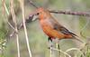 Red Crossbill -- Male (Loxia curvirostra); Catalina Regional Park, Arizona [Lou Feltz] (deserttoad) Tags: nature arizona red mountain animal bird fauna wildbird songbird desert crossbill