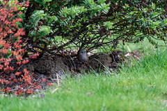 Is it safe to come out yet? (DebbieFirkins) Tags: bird garden feathers beak ornithologist watching bushes shrub bush hiding camoflage brown speckled safe