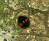 Chilocorus renipustulatus (Scriba, 1790) = Coccinella renipustulata Scriba, 1790. (chug14) Tags: unlimitedphotos animalia arthropoda hexapoda insecta macro insecte coleoptera coccinellidae chilocorinae chilocorini coccinellarenipustulata chilocorusrenipustulatus