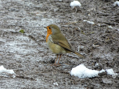 Robin in Snow and Mud 2 (marcusbentus) Tags: lumix dcfz82 panasonic snow mud breast red robinredbreast robin bird animal macro soil grass