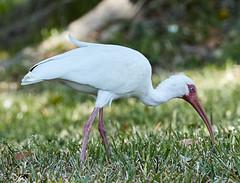 03-19-18-0008354 (Lake Worth) Tags: animal animals bird birds birdwatcher everglades southflorida feathers florida nature outdoor outdoors waterbirds wetlands wildlife wings