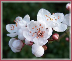 Ornamental Cherry (ERIK THE CAT Struggling to keep up) Tags: blossom cherry coppenhall staffordshire trees ngc
