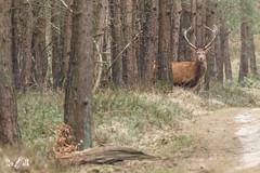 Red deer (NP Veluwezoom, the Netherlands) (Renate van den Boom) Tags: 03maart 2018 edelhert europa gelderland jaar maand nederland renatevandenboom veluwezoom zoogdieren