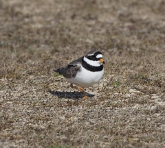 Ringed Plover - Ringed In more ways than one (kc02photos) Tags: ringedplover charadriushiaticula landguardpoint suffolk england uk birdphotography