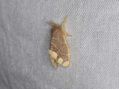Orvasca subnotata (dhobern) Tags: 2018 china erebidae lepidoptera lymantriinae march nygmiini xtbg xishuangbanna yunnan orvascasubnotata