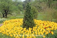 Longwood Gardens Spring 2017 (148) (Framemaker 2014) Tags: longwood gardens kennett square pennsylvania tulips united states america