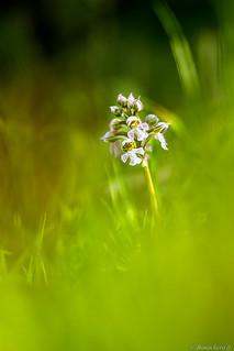 Orchidée du plateau Bonifacien: l'orchis brulé -003