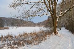 *Holzmaar im Winter* (Albert Wirtz @ Landscape and Nature Photography) Tags: albertwirtz holzmaar maar vulkansee vulkaneifel eifel wintermagic winterzauber natur landscape paesaggi paysages campo nature tree forest gillenfeld angeln nikon snow d700 lake volcaniclake schilf germany deutschland allemagne rheinlandpfalz rhinelandpalatinate europa europe wandern eifelsteig eifeltrail trail hiking udler