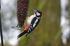Great Spotted Woodpecker (eric robb niven) Tags: ericrobbniven scotland great spotted woodpecker springwatch lochofthelowes
