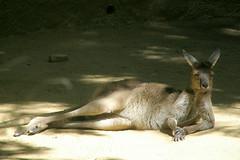 LA Zoo (Tiger_Jack) Tags: lazoo zoo zoos kangaroo kangaroos itsazoooutthere zoosofnorthamerica