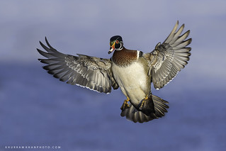 Incoming Wood Duck