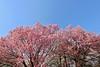 IMG_5885 (digitalbear) Tags: canon eos6d sigma 14mm f18 dg art shinjku gyoen sakura cherry blossom blooming hanami tokyo japan