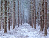 Winter Pines (jactoll) Tags: coughton warwickshire coughtonpark winter snow woods forest pines pinetrees sony a7ii sony2470mmf28gm jactoll