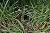 Red-bellied Black Snake (Pseudechis porphyriacus) (shaneblackfnq) Tags: redbellied black snake pseudechis porphyriacus shaneblack reptile elapid venomous dangerous red belly mt mount lewis julatten fnq far north queensland australia rainforest basking tropics tropical