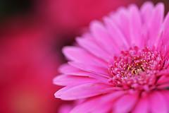 Pink Gerbera (naruo0720) Tags: gerbera pinkgerbera ガーベラ ピンクガーベラ nikonscamera sigmalenses d610 sigma150mmf28os apomacro150mmf28exdgoshsm nikon photography