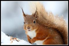 IMG_0041 Red Squirrel (Scotchjohnnie) Tags: redsquirrel sciurusvulgaris mammal rodent wildanimal nature naturephotography naturewildlifeandbirds wildlife wildlifephotography northeastengland canon canoneos canon7dmkii canonef100400f4556lisiiusm scotchjohnnie closeup portrait