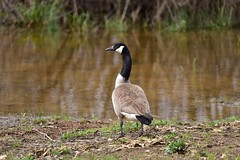 Canadian Goose_9811 (Porch Dog) Tags: 2018 garywhittington nikond750 nikkor200500mm wildlife nature kentucky april canadian goose bird feathers slough water