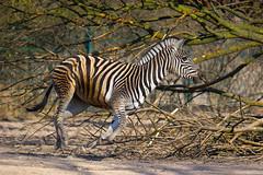 Chapman`s Zebra (murtica27) Tags: zoo tierpark berlin zebra chapmans plain nature wildlife afrika garden outdoor spring action extreme sony alpha firedrichsfelde monochrome animal savanne safari africa south namibia botswana zimbabwe angola germany capital equus quagga chapmani