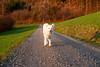 Happiness is .... a morning walk. (balu51) Tags: morgen morgenspaziergang frühling hund kuvasz ungarischerhirtenhund rennen glücklich dog happy running morningwalk morning spring meadows forest april 2018 copyrightbybalu51