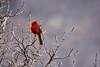 Cardinal at the Falls (KWPashuk) Tags: nikon d7200 tamron tamron18400mm lightroom luminar luminar2018 kwpashuk kevinpashuk cardinal bird songbird perched niagarafalls niagara falls ontario canada nature outdoors