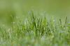 Morgentau (Nereus[GER]) Tags: pflanzen morgentau wassertropfen makro wiese natur canoneos80d canon300mmf4 smerlot nereusger