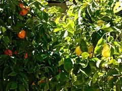 patios y fuentes (10) (canecrabe) Tags: orange citron grenade cloître monastère couvent saintjérôme hiéronymite sanjerónimo