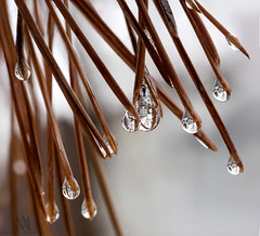 our neighbourhood when 2 seasons collide (marianna armata) Tags: pine needles leaves ice water rain drops macro reflections spring winter season mariannaarmata tree branch