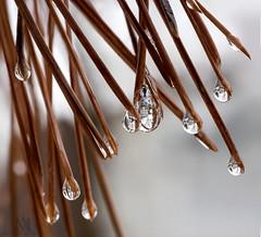 our neighbourhood when 2 seasons collide (marianna_a.) Tags: pine needles leaves ice water rain drops macro reflections spring winter season mariannaarmata tree branch