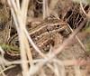 Viviperous lizard (Lancs & Lakes Outback Adventure Wildlife Safaris) Tags: nikon d3300 18300mm stannes dunes reptile hiding hidden basking scales eye