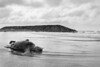 A Sea-turtle's Tragedy (idris.photography) Tags: canon 800d animal animals brunei turtle seaturtle sea ocean rocks bw blackandwhite