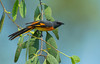 Small Minivet (ahmedezaz76) Tags: small minivet pericrocotus cinnamomeus wild wildbird bangladesh beauty outdoor natural colour action beautiful mangrove forest