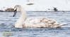 Hnúðsvanur - Mute Swan - Cygnus olor (raudkollur) Tags: ísland iceland birds fuglar cygnusolor hnúðsvanur muteswan nikond7200 nikkor200500mm