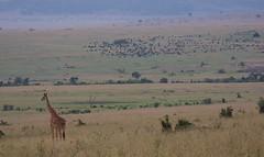 Beautifull Masai Mara, Kenia (WOfoto) Tags: nikon d7200 sigma 150500 150500mm travel masai mara national park kenia kenya africa wildlife landscape nature giraffe