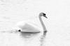 march 2018 lake katherine (timp37) Tags: black white swan bird illinois march 2018 lake katherine palos