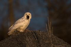 Snowy with a face full of vole! (NicoleW0000) Tags: snowyowl owl birdofprey goldenhour wildlife vole ontario
