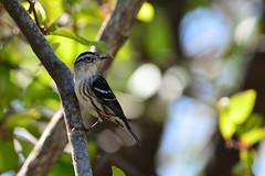 Black & White Warbler, Everglades National Park, FL, USA (Pablo L Ruiz) Tags: evergladesnationalpark warbler mniotiltavaria