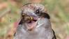 laughing kookaburra (Dacelo novaeguineae)-5909 (rawshorty) Tags: rawshorty birds canberra australia act symonston