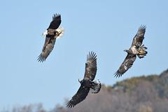 The Chase (adbecks) Tags: bald eagles eagle wildlife nikon d500 200500 action bif bird flight