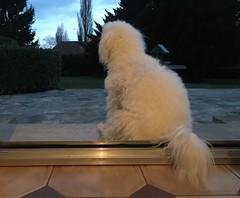 Naïs (Annelise LE BIAN) Tags: naïs bichonfrisé chien alittlebeauty coth coth5