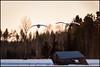 Incoming (Jonas Thomén) Tags: swan swans svan svanar barn lada haybarn hölada spring vår skog forest woods birds fåglar snö snow field åker