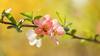 Japanese Quince (paulapics2) Tags: chaenomoles quince nature garden spring rhshydehall canoneos5dmarkiii sigma105mmf28exdgoshsmmacro 7dwf flora